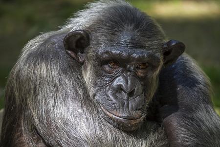 troglodytes: Closeup of chimpanzee Pan troglodytes, Vertical image position staring