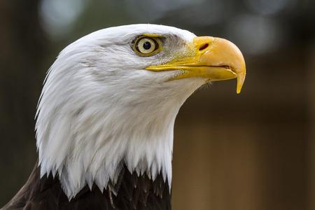 haliaeetus leucocephalus: Portrait of a bald eagle lat. haliaeetus leucocephalus