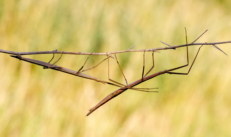 Walking stick, Phasmatodea. Insect photographed in their natural habitat photo