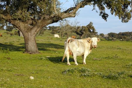 extremadura: Cow grazing in fields Extremadura, Spain Stock Photo