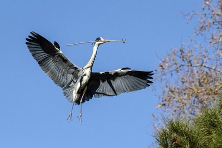 Blue heron, flying with a branch to the nest