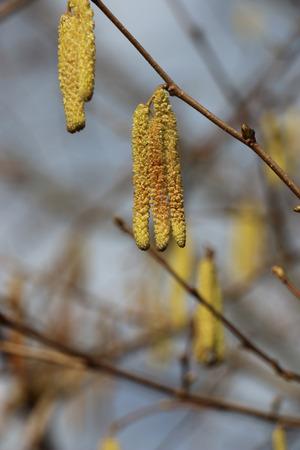 albero nocciola: nocciolo