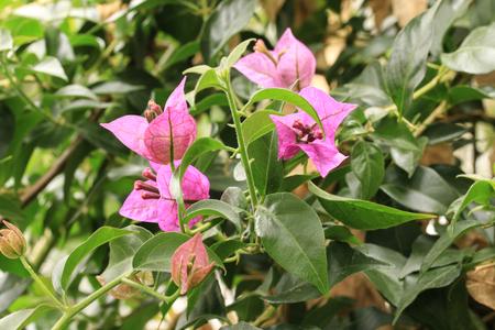 ornithogalum dubium: Tropical flower Stock Photo