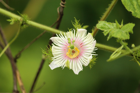 filaments: Small White Flower with Filaments Stock Photo