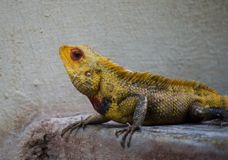 Yellow Lizard sharply looking in front of white wall Stock Photo