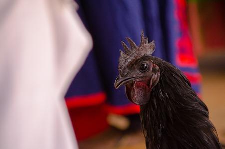 Rare breed cock close up