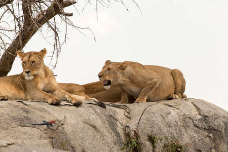 lions rock: Two lions on a rock with a rainbow agama watching, at Serengeti National Park, Tanzania. Stock Photo