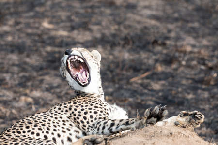 Close up portrait of a cheetah yawning, sitting on a termite mound at Serengeti National Park, Tanzania photo