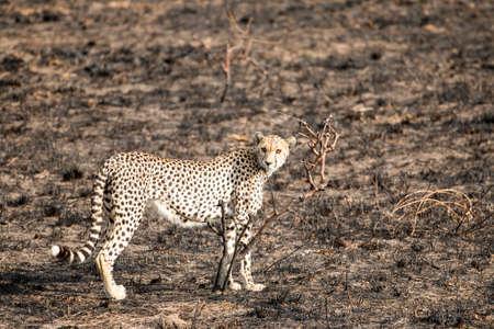 Close up image of a cheetah standing and staring, at Serengeti National Park, Tanzania photo