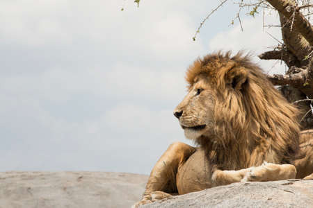 Male lion sitting on a rock facing sideways, at Serengeti National Park, Tanzania