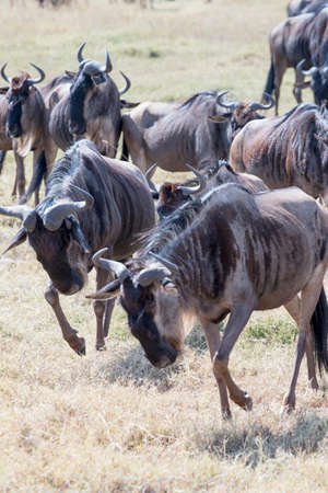 conservation grazing: Wildebeest herd running and fighting Stock Photo