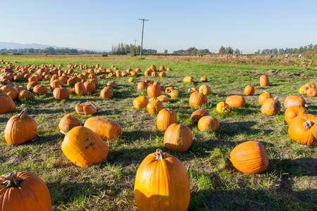Rows of ripe orange pumpkins in a farm, at Sauvie Island, Oregon