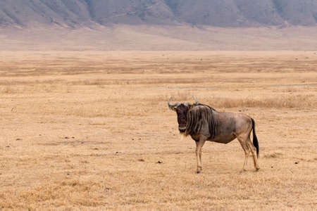 conservation grazing: Lone wildebeest standing and looking, at Ngorongoro Crater, Tanzania Stock Photo