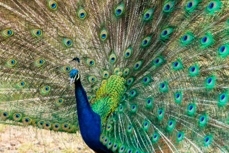Peacock elegantly displays its colorful, green and blue feathers photo