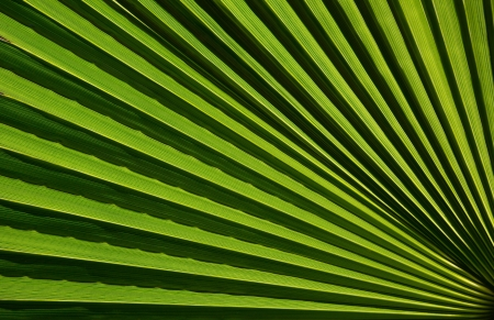 Macro fragment of a fresh green palm leaf