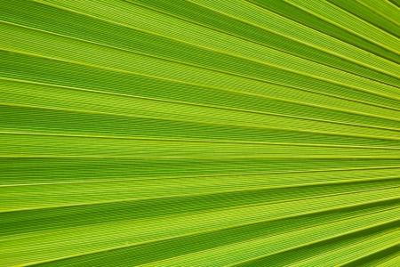 Macro fragment of a fresh green palm leaf