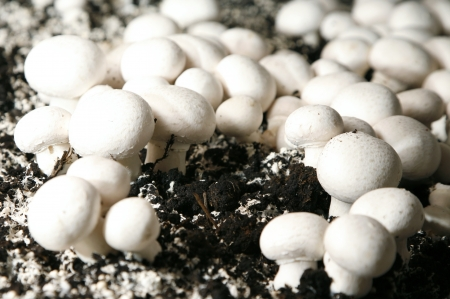Fresh champignons growing in a soil photo