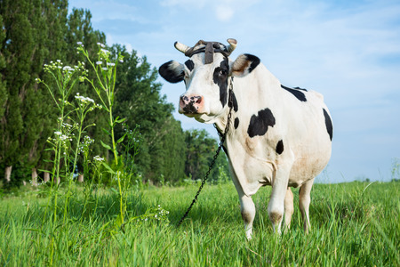 Funny black and white colour dairy cow on a pasture with fresh green grass Stock Photo