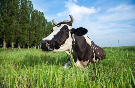 Funny black and white colour dairy cow lying in a green pasture Stock Photo