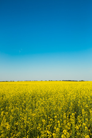 Wide angle view of a bright yellow blossoming canola under a deep clear blue sky  Stock Photo