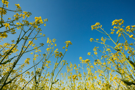 Wide angle close upview of a bright yellow blossoming canola under a deep clear blue sky