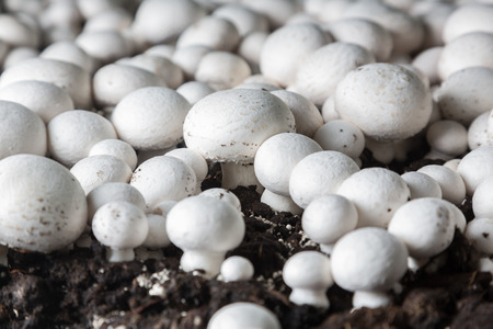 Fresh champignons growing on a special soil on a mushroom production plant. Food production