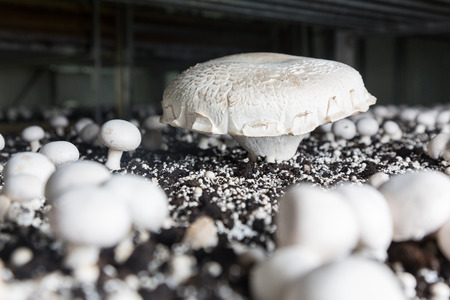 giant mushroom: Giant champignon growing on a special soil on a mushroom production plant. Food production Stock Photo