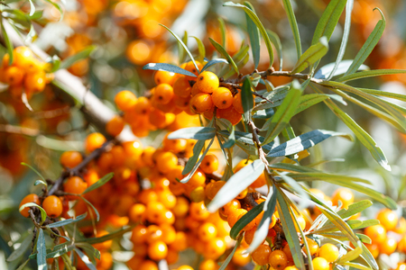 argousier: Closeup of ripe sea buckthorn berries on a branch. Healthy vegan food concept