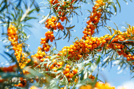 Ripe sea buckthorn berries on a branch. Healthy vegan food concept