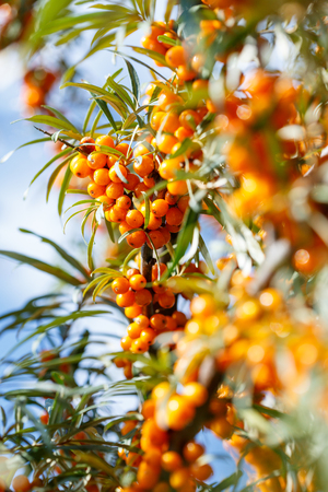 Ripe sea buckthorn berries on a branch. Healthy vegan food concept
