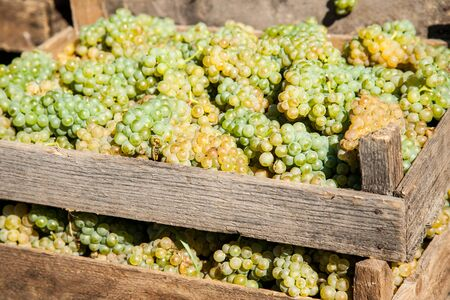 Fresh harvest of white winemaking grape bunches in a wooden boxes. Winemaking industry concept