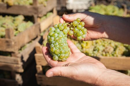 Winemakers hands holding  bunch of white grape