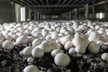 Champignons growing on a mushroom farm. Mushroom production industry