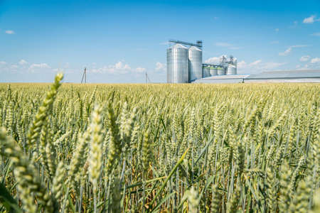 Green wheat field with a modern metal grain elevator on a background. Agriculture crops storage concept