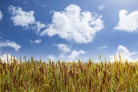 windless: Broadleaf Cattail field with blue cloudy sky   Typha latifolia  Stock Photo