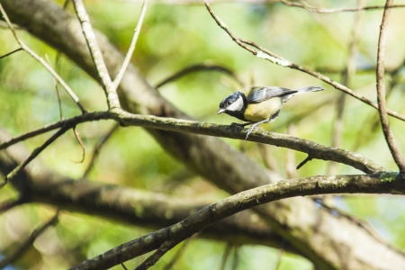 Great Tit on forest photo