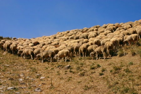 Flock of sheep grazing in the French Alps photo