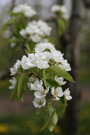 white blossom of apple trees in springtime photo
