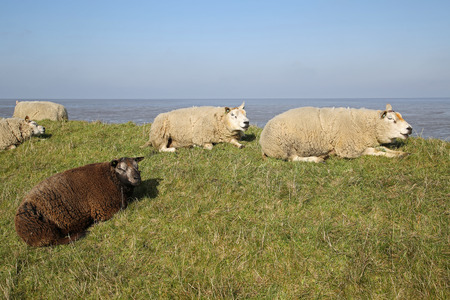 texel: A couple of lambs in the meadows of Texel