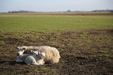 texel: New born lamb in the meadows of Texel Stock Photo