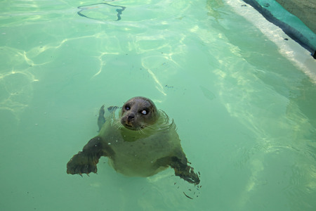 A seal in the Ecomare Pool in Texel photo