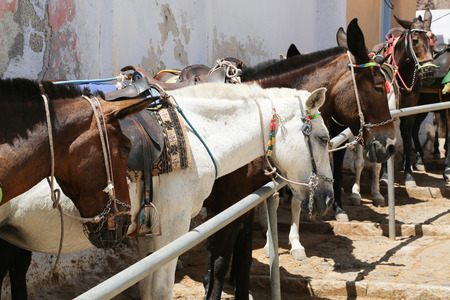 Donkeys at the Greece Santorini island are used to transport tourists in summer time photo