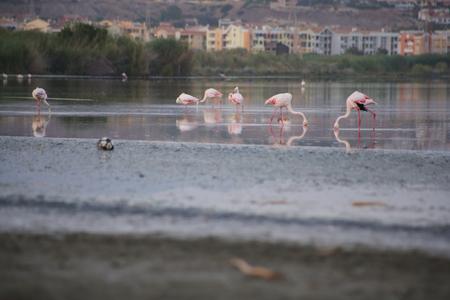 fine legs: Lake with pink flamingos in Cagliari, Sardinia Stock Photo