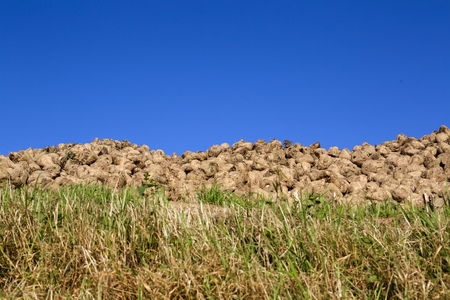 Pile of sugar beets on a field Stock Photo