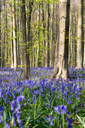 The bluebells flowers during springtime in Hallerbos, Halle, Belgium