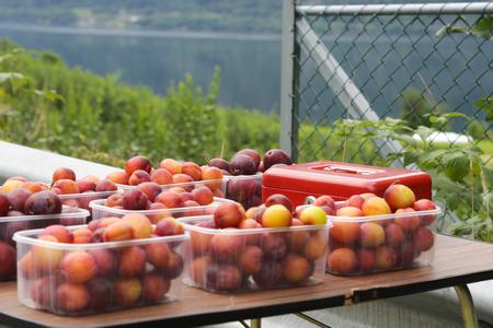 hardanger: Apple tree gardens in Lofthus around the Hardanger fjord