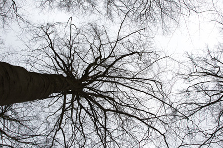 Bare tree crown silhouettes from low perspective