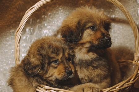 smal: Puppies of the Tibetan mastiff in the basket Stock Photo