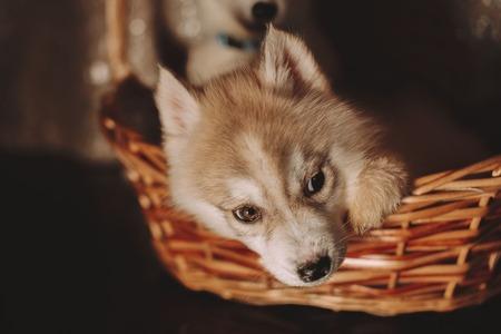 buen vivir: Husky cachorros en la cesta