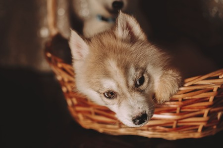 Husky puppies in the basket